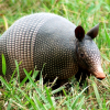 Pictures of armadillo