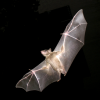 Pictures of bat