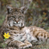 Pictures of bobcat