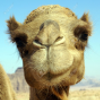 Pictures of camel