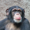 Pictures of chimpanzee