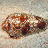 Pictures of cone snail
