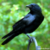 Pictures of crow