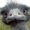Pictures of emu
