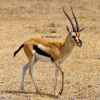 Pictures of gazelle