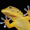 Pictures of gecko
