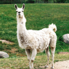 Pictures of llama