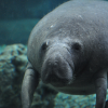 Pictures of manatee