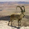 Pictures of mountain goat