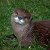 Pictures of otter