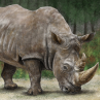 Pictures of rhinoceros