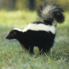Pictures of skunk
