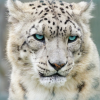 Pictures of snow leopard
