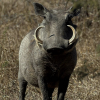 Pictures of warthog