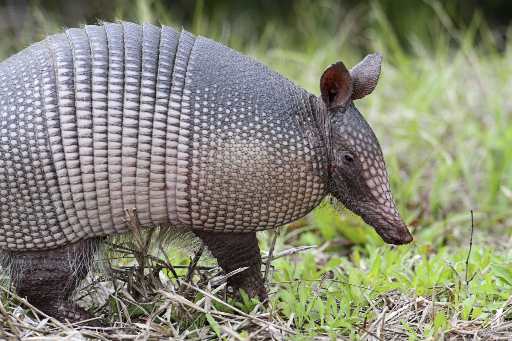 an in depth look at the latin america armadillo species With contributions an in depth look at the latin america armadillo species from dawkins' research assistant yan wong 10-9-2017 as hurricane irma rakes the west coast of florida between march and august all eyes are on the cities and human lives in the storms path but irma is also hammering the florida.