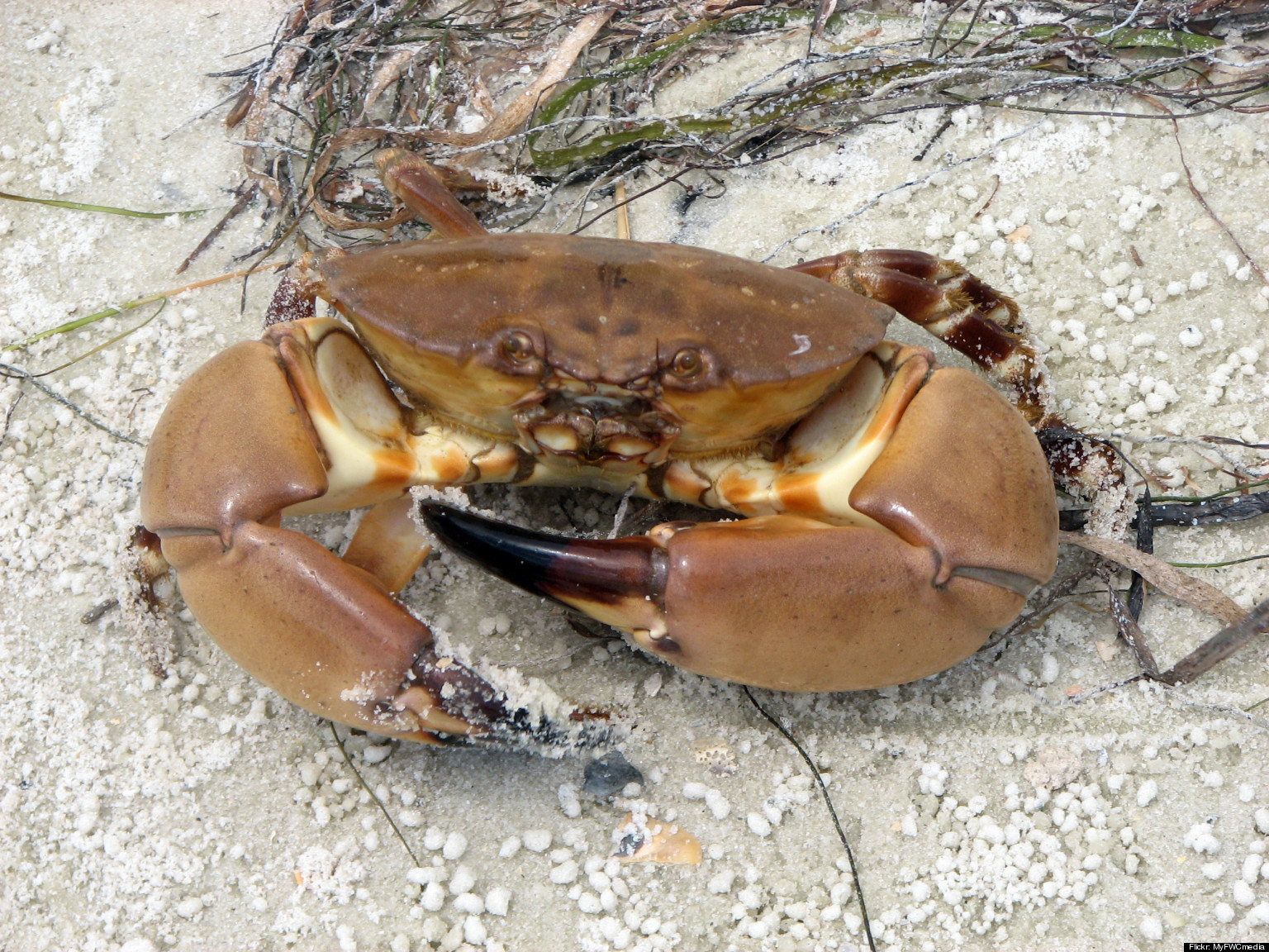 Pictures of florida crabs Blue Crab Photo Gallery - FWC