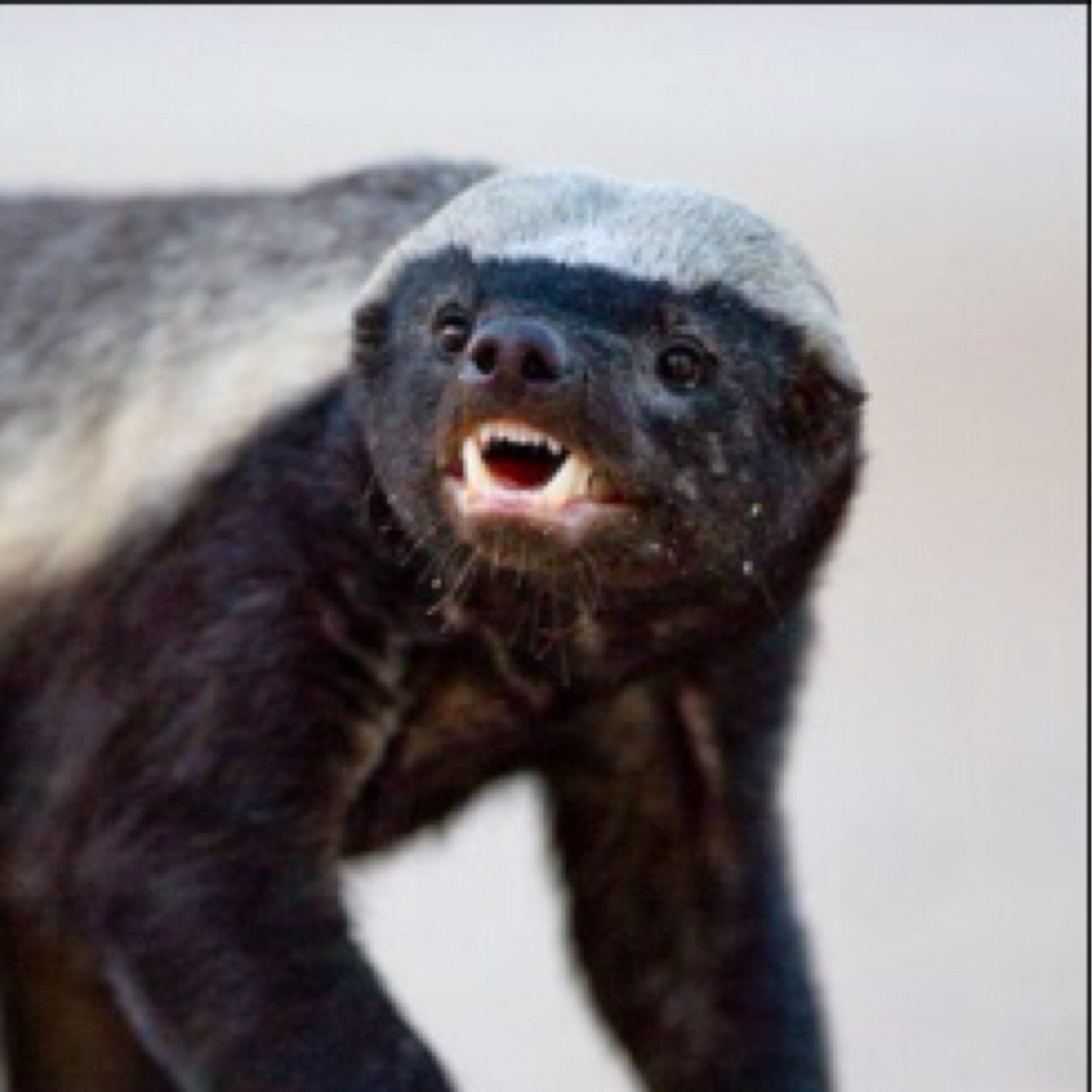 Honey Badger Pictures Kids Search