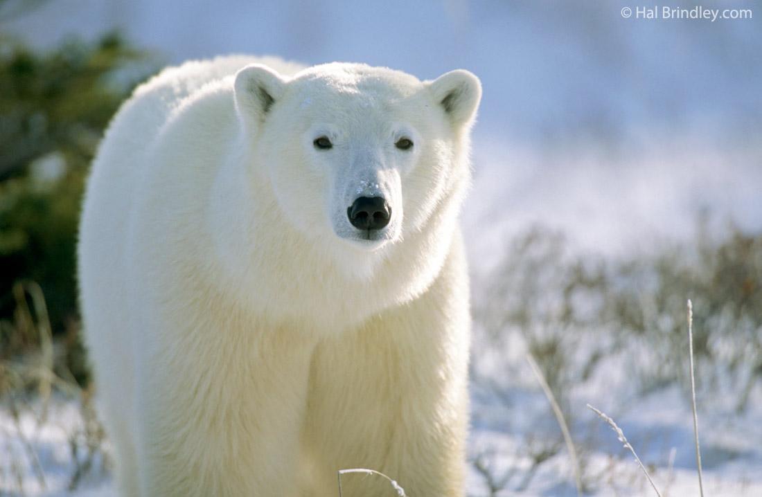 Polar Bear Pictures Kids Search