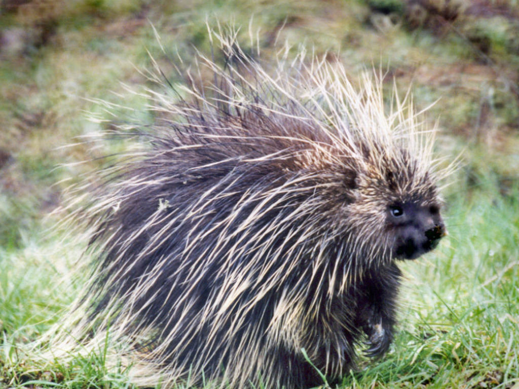Porcupine Pictures Kids Search