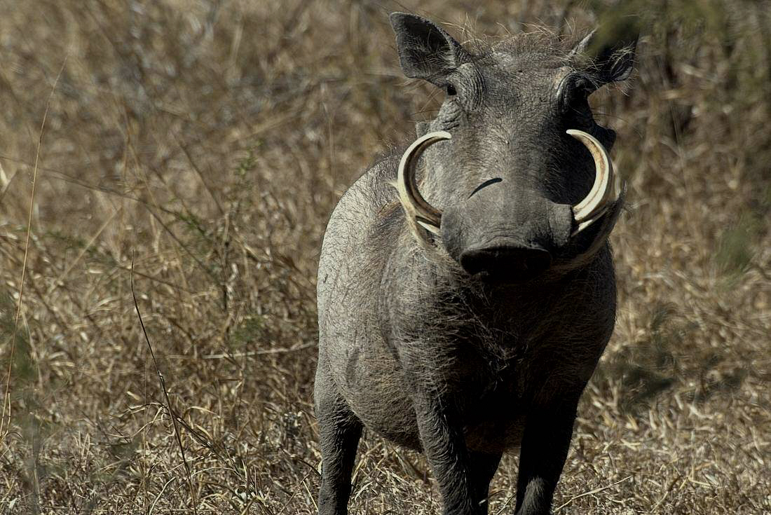Warthog Pictures Kids Search