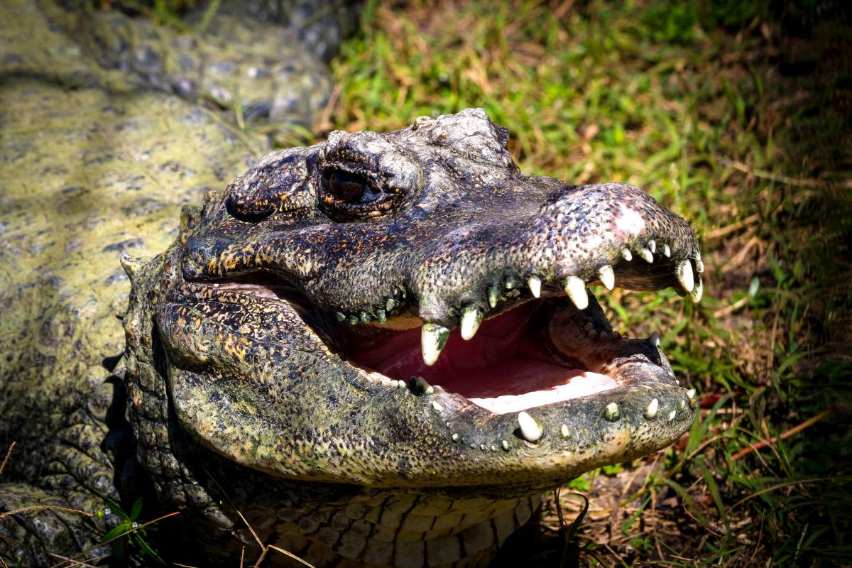 Alligator Pictures - Kids Search Pictures Search