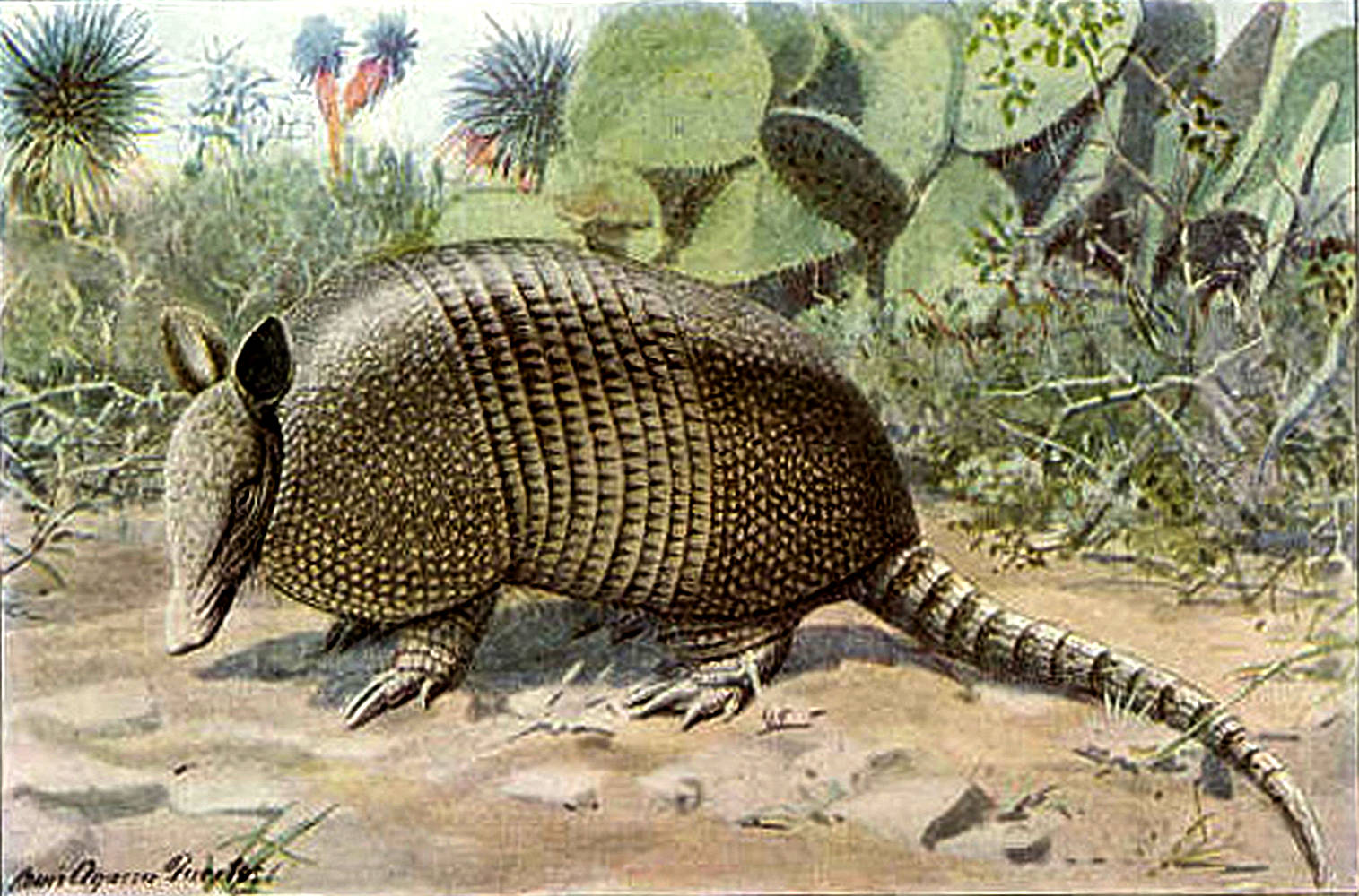 Armadillo Pictures Kids Search