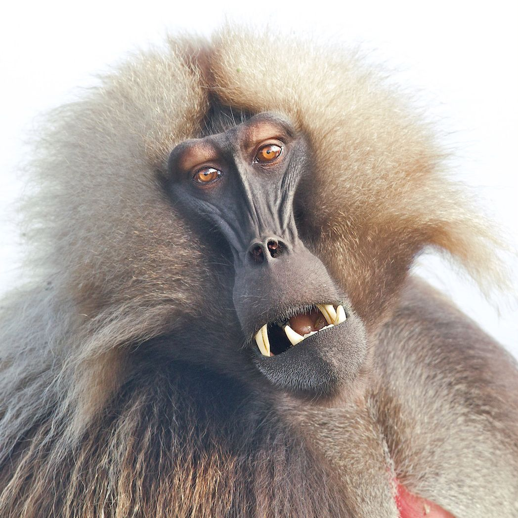 Baboon Pictures Kids Search