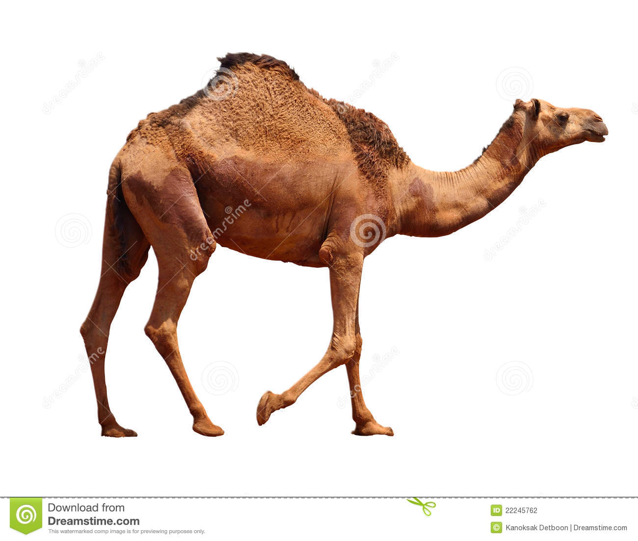 Camel Pictures Kids Search