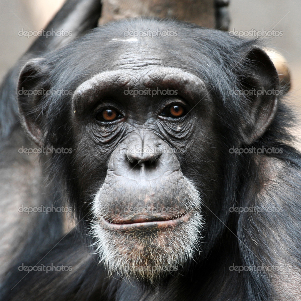 Chimpanzee Pictures - Kids Search