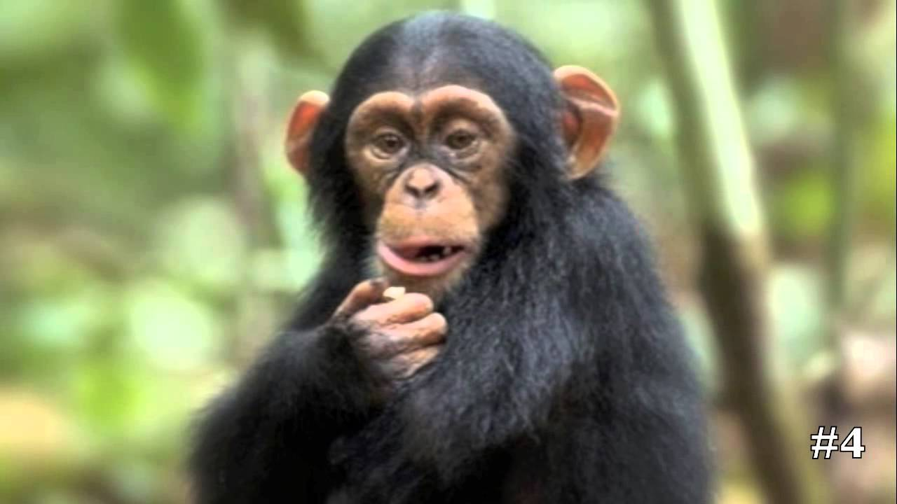 Chimpanzee Pictures Kids Search