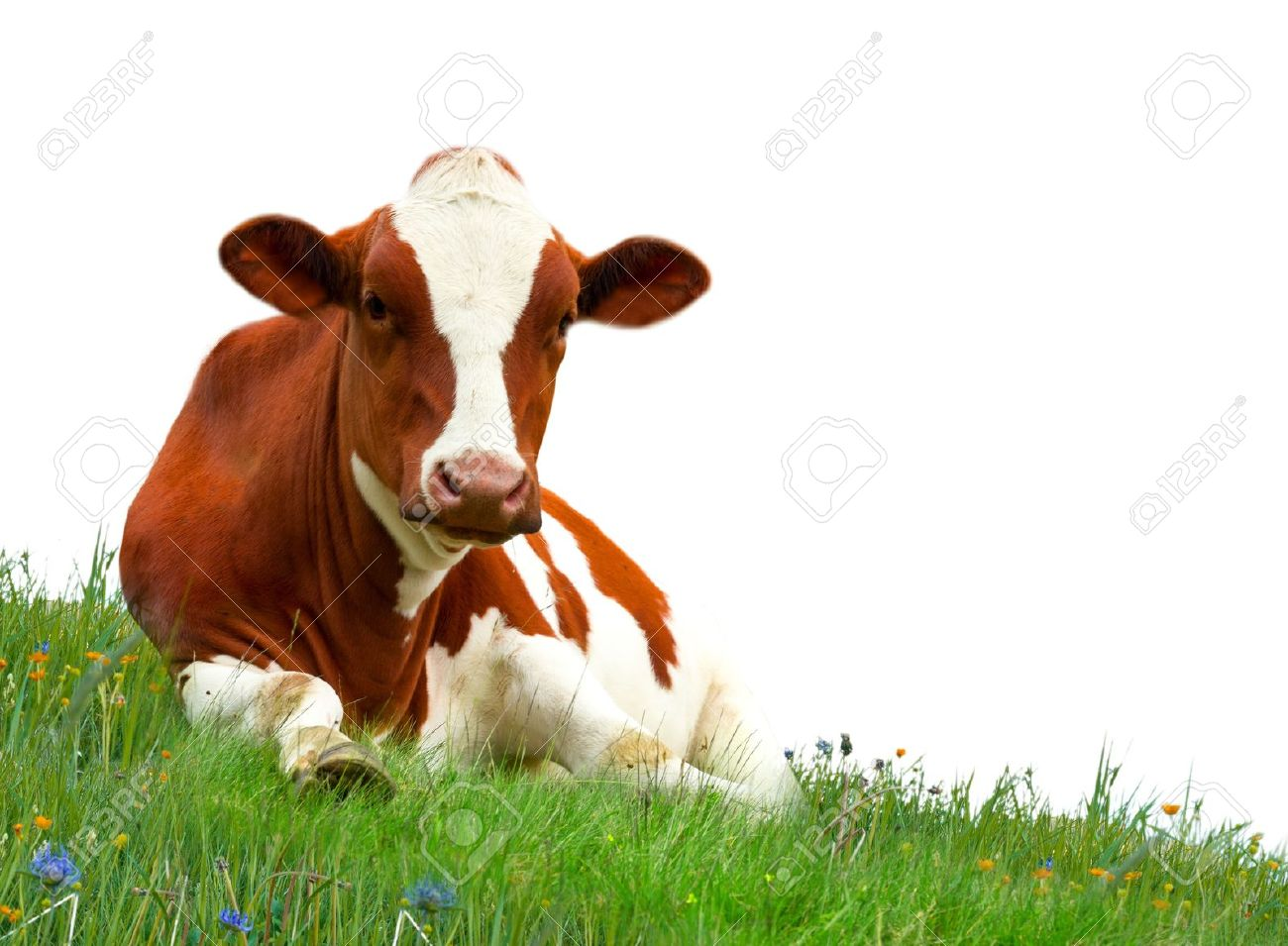 Cow Pictures Kids Search