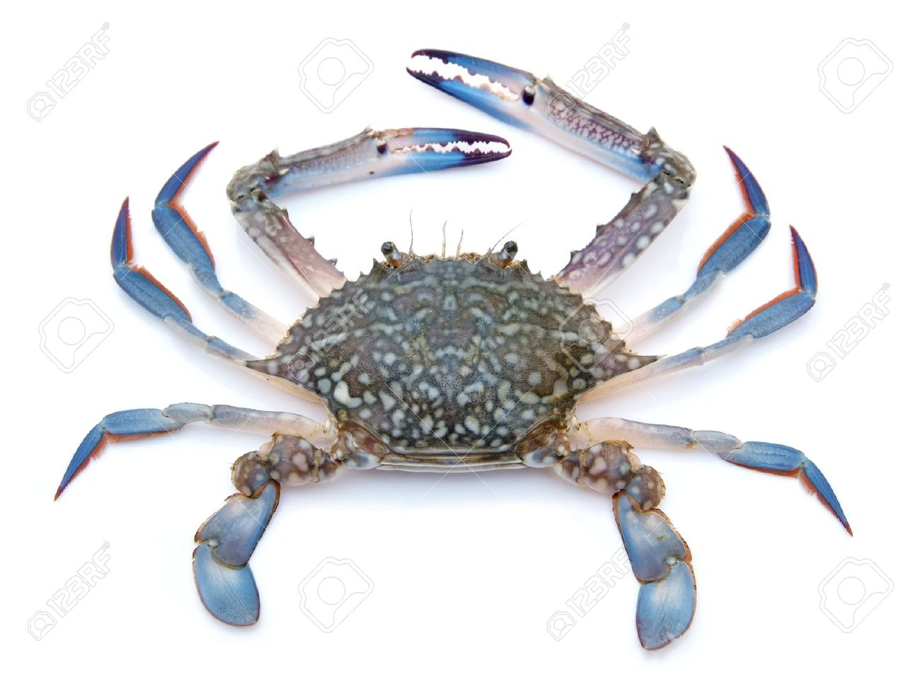 Crab Pictures Kids Search