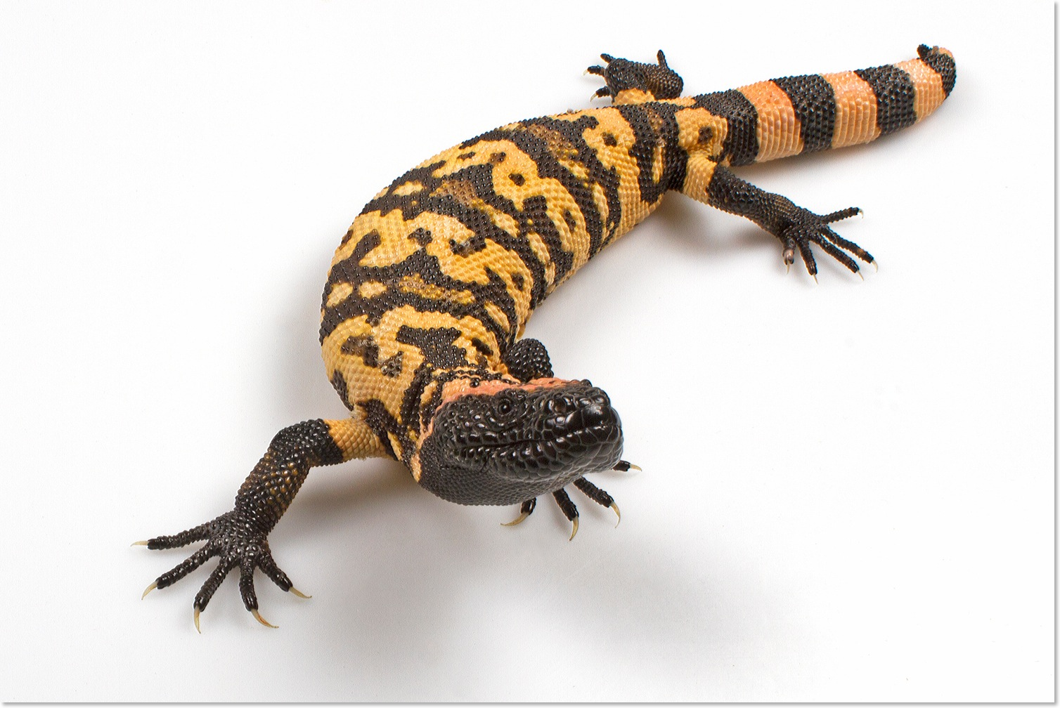 Gila Monster Pictures Kids Search
