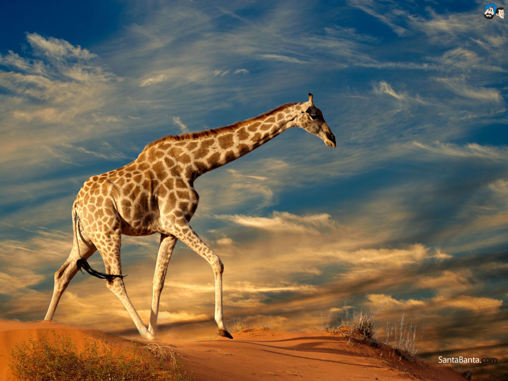 Giraffe Pictures Kids Search