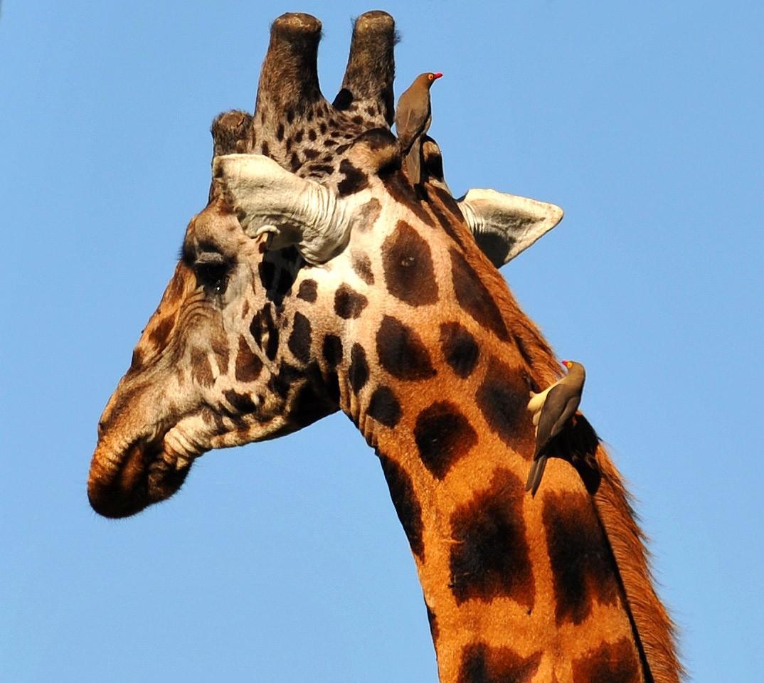 Приколы про жирафов картинки