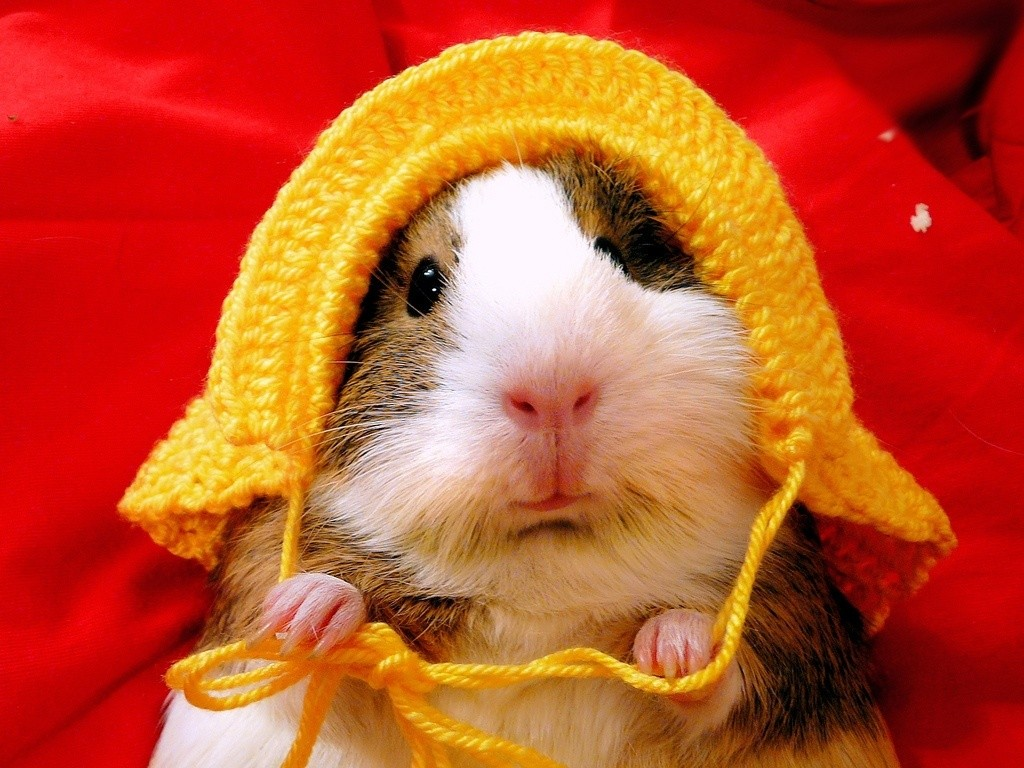 Guinea Pig Pictures Kids Search