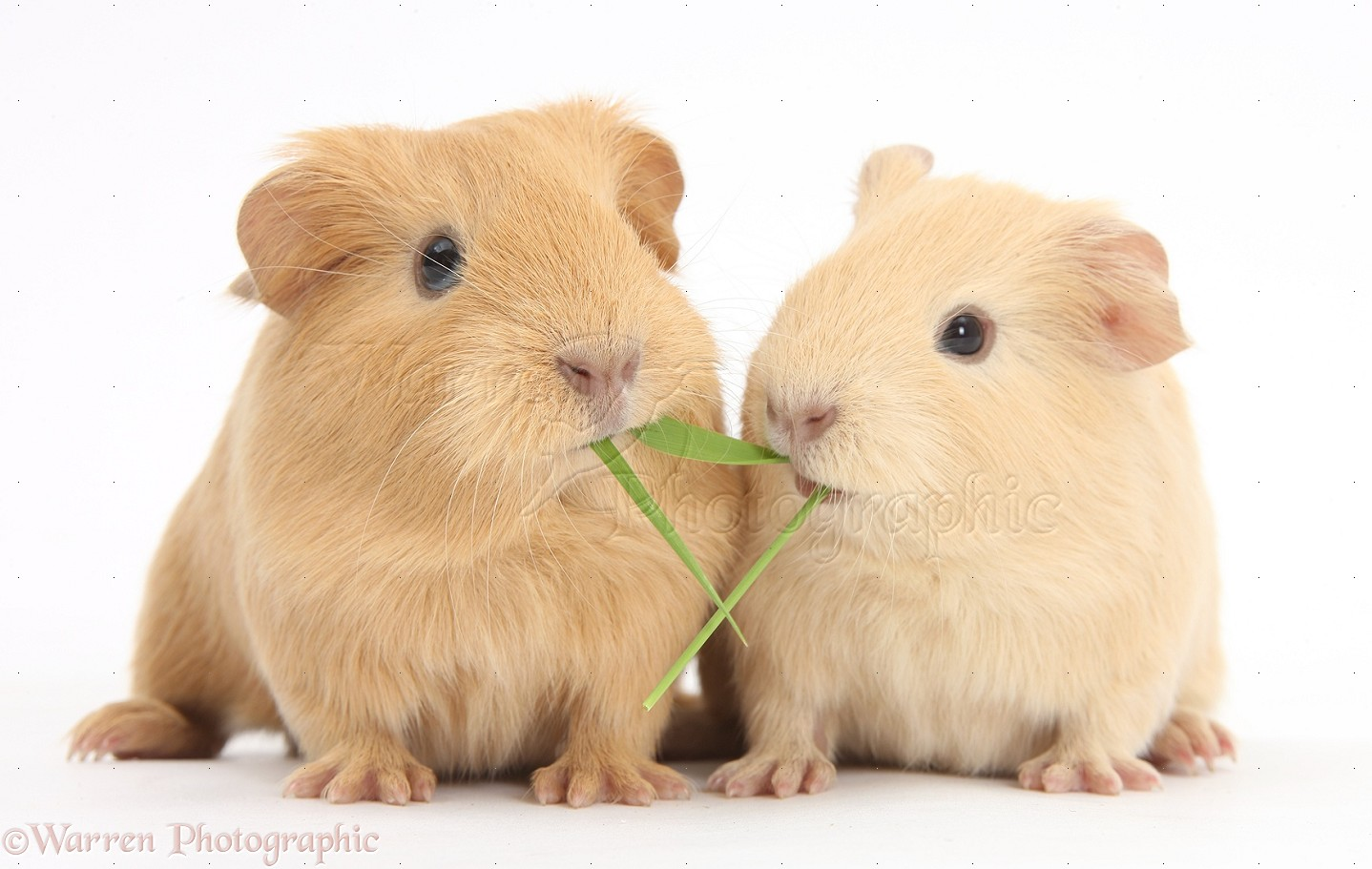 PicturesOfGuineaPig on Cute Coloring Pages Of Animals