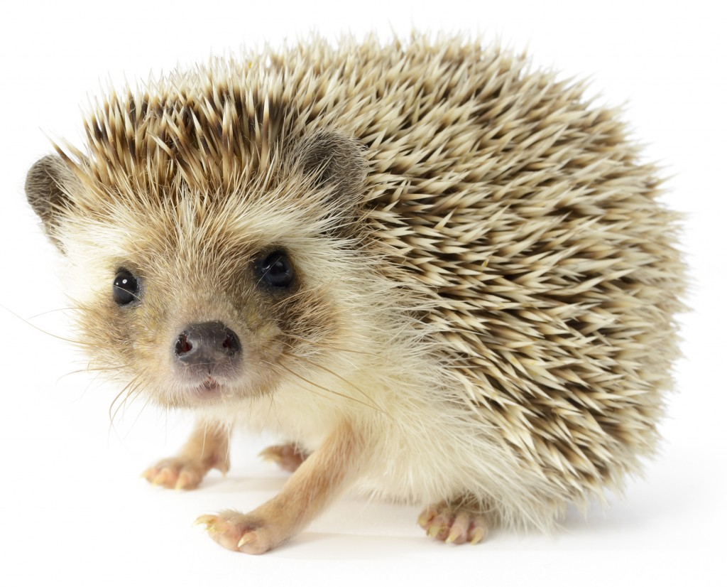 Hedgehog Pictures - Kids Search