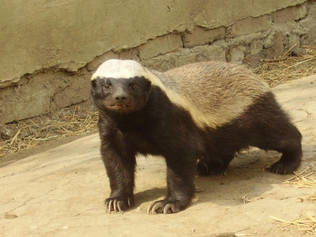 honey badger Honey badgers, also known as ratels, are mammals that appear in the lion guard universe they live in the pride lands honey badgers have black or gray fur, with white fur on their head and back they have short legs, very thick skin, powerful jaws, and sharp teeth and claws.