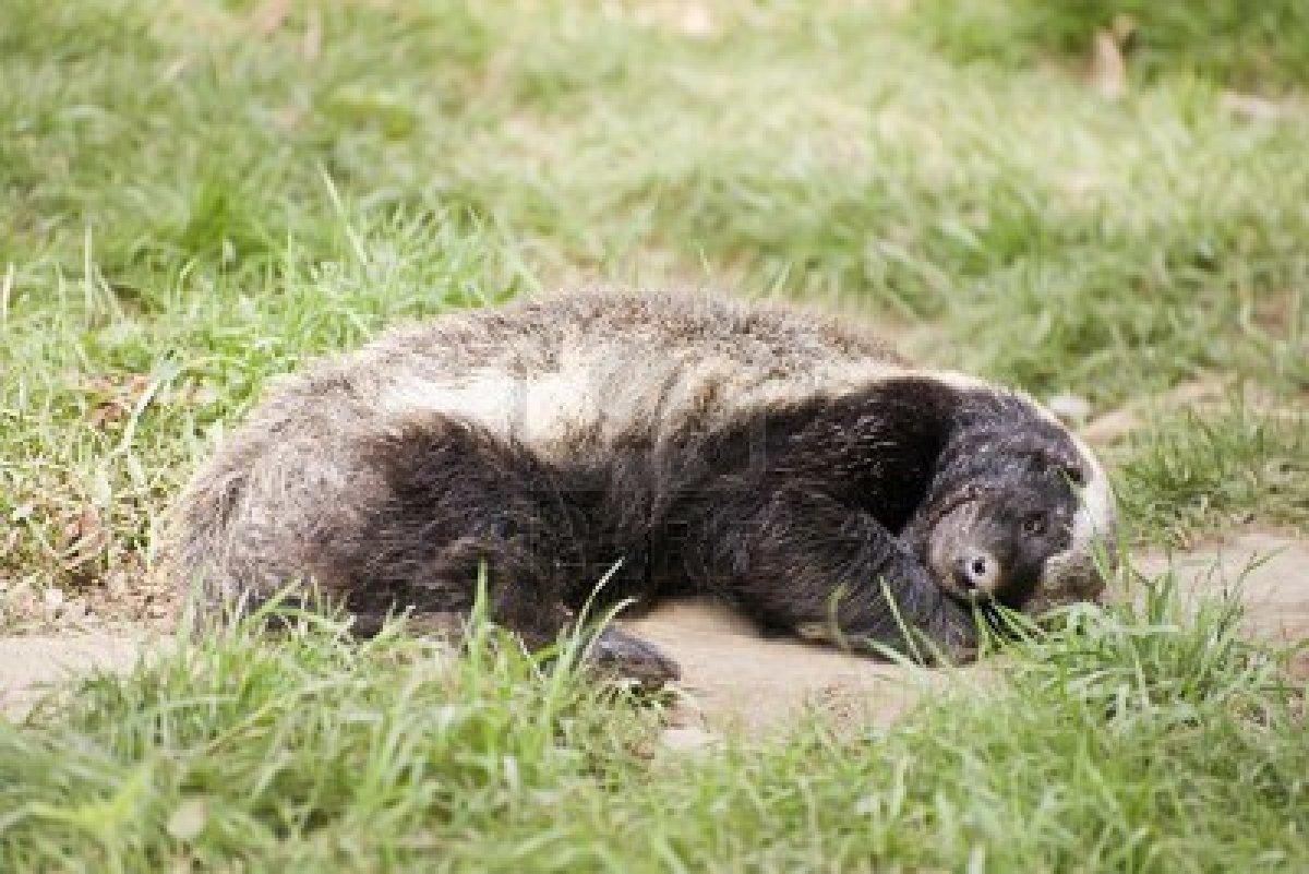 Kid Size Badger