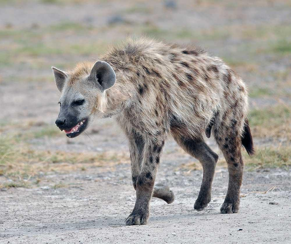 Hyena Pictures Kids Search