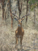 impala animal jumping - HD800×1066