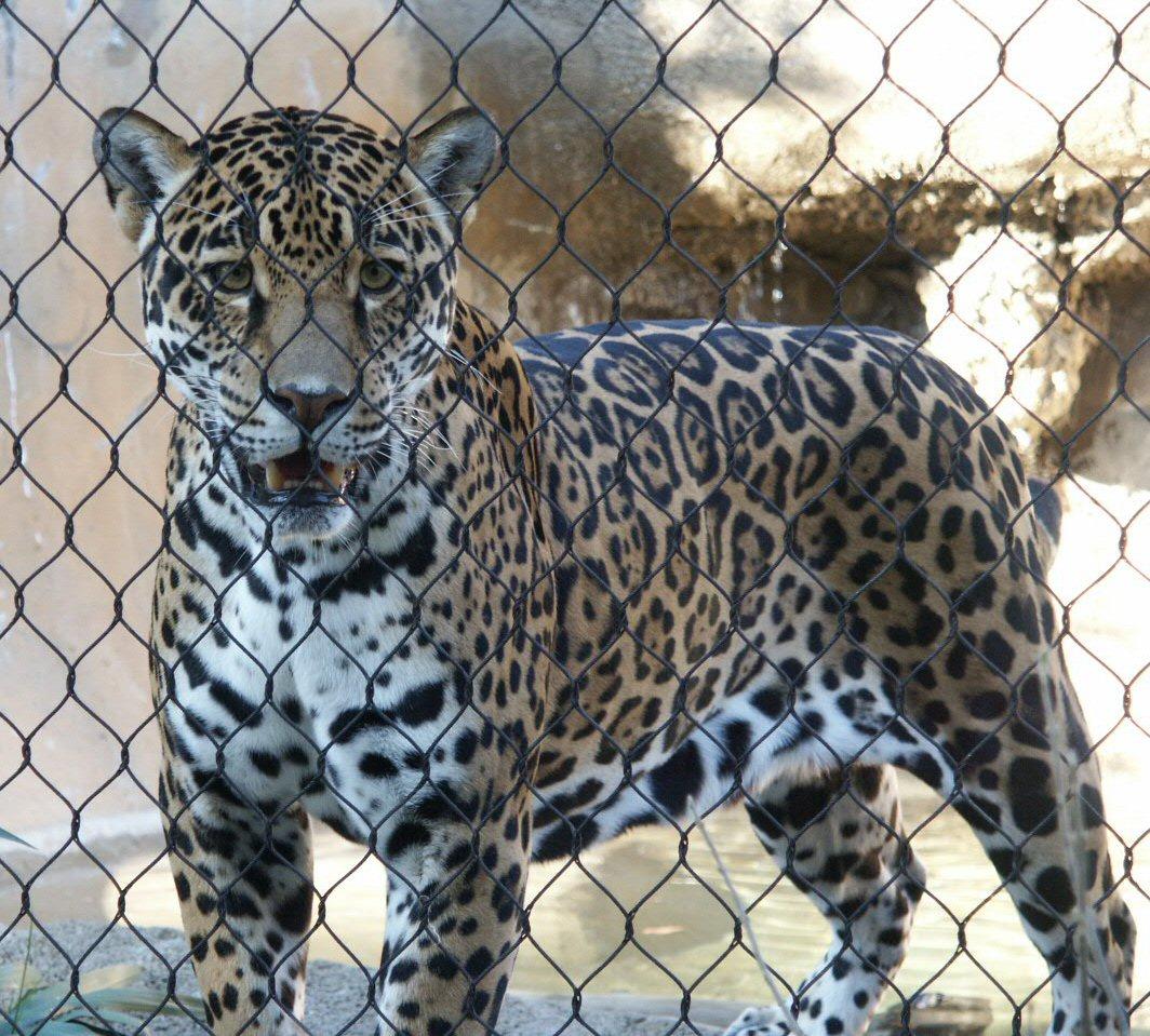 Jaguar Pictures