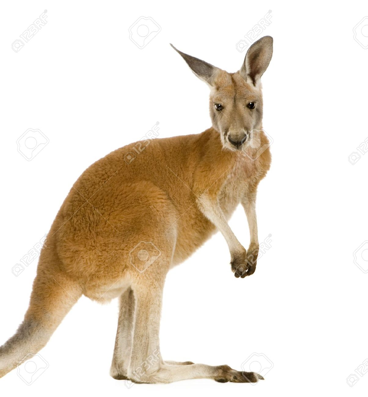 Kangaroo pictures kids search - Image kangourou ...