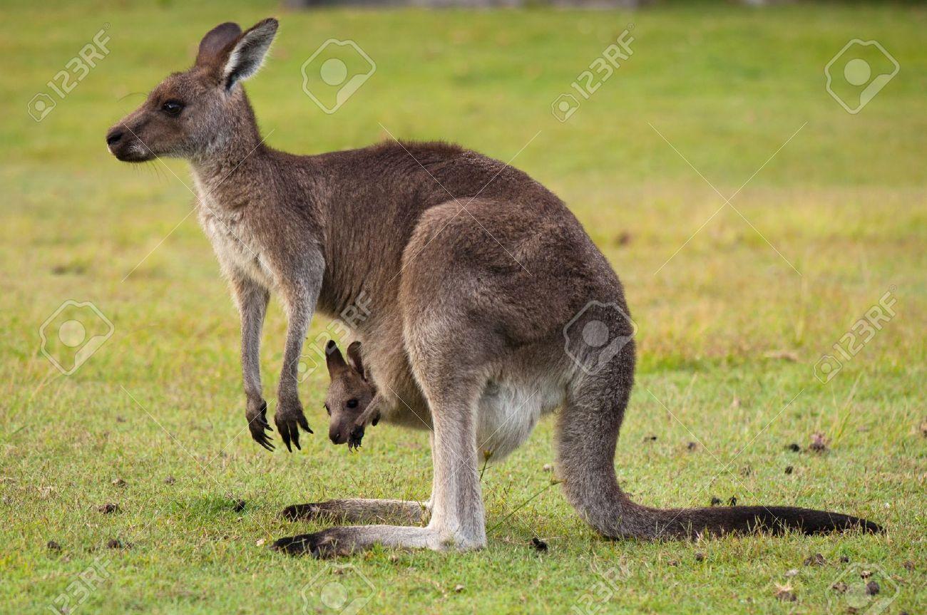 kangaroo pic 1300x863 eb5266e