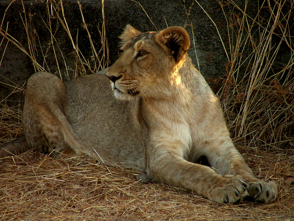 Lion Pictures  Kids Search