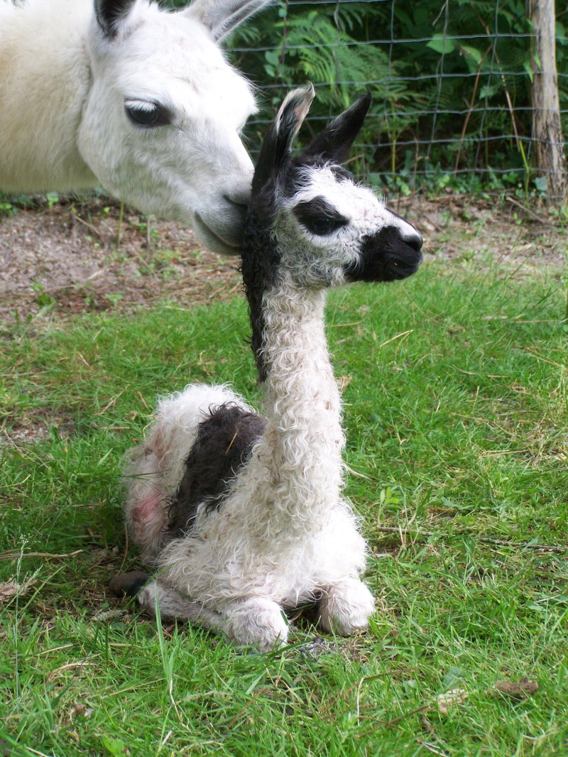 Llama Pictures Kids Search