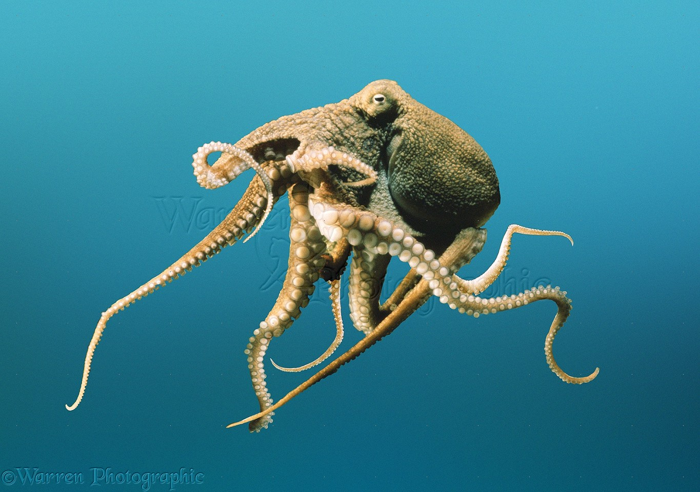 Octopus Pictures Kids Search