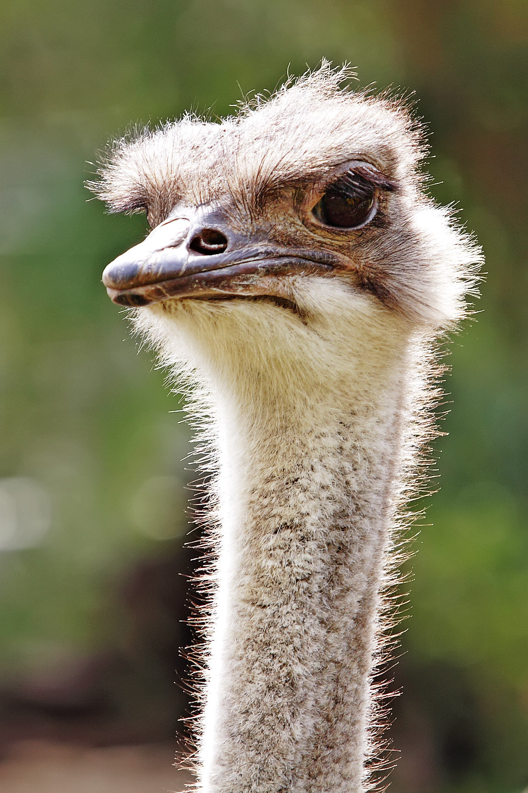 Ostrich Pictures Kids Search