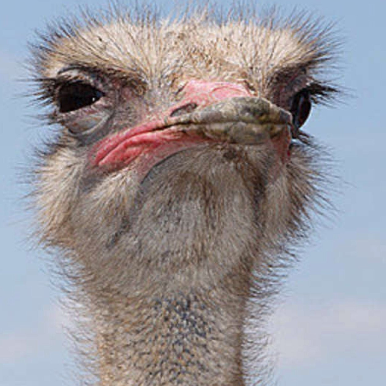 PicturesOfOstrich on Preschool Coloring Pages